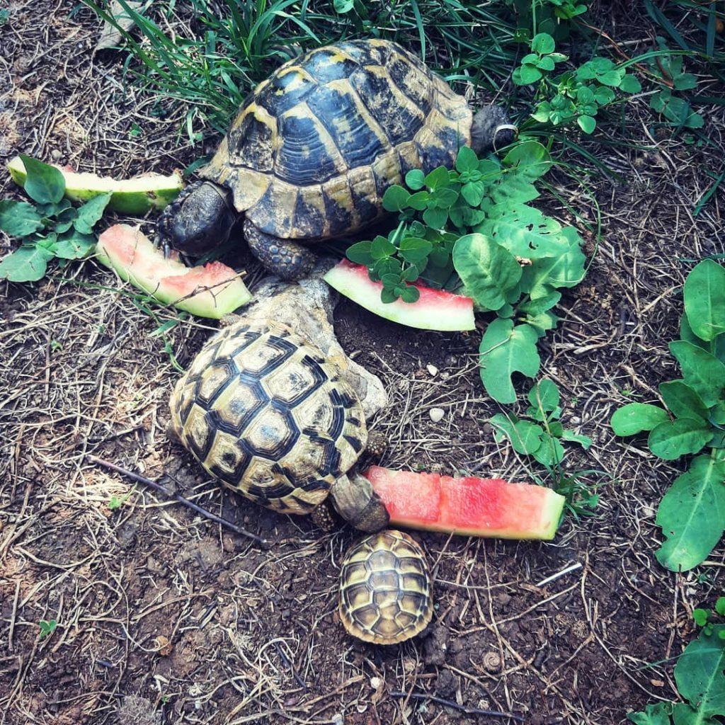 Pamiętajcie, że żółwie lubią arbuzy.